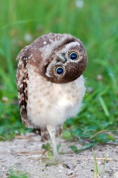 Inquisitive Burrowing Owl upside down upside downnn Animals And Pets, Baby Animals, Funny Animals, Cute Animals, Beautiful Owl, Animals Beautiful, Especie Animal, Photo Animaliere, Burrowing Owl