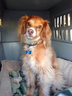 Toffee - Cavalier King Charles Spaniel/Italian Greyhound mix - Male - 5 yrs old - Pet Angels Rescue - Edmond, OK. - http://www.petangelsrescue.org/ - https://www.facebook.com/PetAngelsRescue/ - http://www.adoptapet.com/pet/13512613-edmond-oklahoma-cavalier-king-charles-spaniel-mix - http://www.petango.com/Adopt/Dog-Dachshund-Standard-Long-Haired-26975323 - https://www.petfinder.com/petdetail/32868027