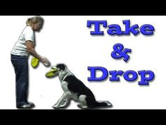 Take Drop the Frisbee: Disc Dog Training Dog Clicker Training, Dog Training, Sports Training, Border Collie Training, Cockapoo Dog, Auryn, Frisbee Disc, Us Border, Boxer Mix