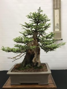 Sequoia Bonsai Grow Your Own Largest Tree In The World Kit GIANT REDWOOD