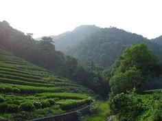 Green Tea plantation in Hangzhou, China