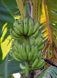 Interesting Photos, Cool Photos, Banana, Fruit, Food, Essen, Bananas, Meals, Fanny Pack