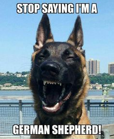 Malinois! They're not the same breed! Educate yourself or shut the hell up! #Maligator