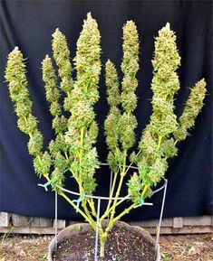 Cannabis seeds for sale. Fertilizers for growth, grow tents and lighting kits. Indoor Aquaponics, Aquaponics System, Aquaponics Fish, Aquaponics Greenhouse, Growing Weed, Cannabis Growing, Marijuana Plants, Cannabis Plant, Cannabis Seeds For Sale