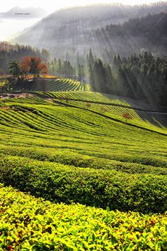 Rays of light on Daehan Dawon green tea fields in Boseong, South Korea South Korea Travel, North Korea, Asia Travel, Daegu South Korea, Seoul Korea, South Korea Photography, Nature Photography, Travel Photography, The Rok