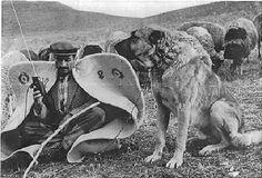 Kangal dog Kangal Dog, Toy Dog Breeds, Farm Dogs, Anatolian Shepherd, White Dogs, Working Dogs, Training Your Dog, Animals And Pets, Dogs