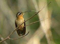 Foto balança-rabo-canela (Glaucis dohrnii) por Ciro Albano