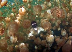 At Jellyfish Lake in the Pacific island of Palau, its safe to swim amongst millions of jellyfish, because the creatures have lost their sting
