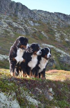 Bernese Mountain Dogs #BerneseMountainDog