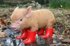 What ISN'T funny about a piggy in red wellies? He thinks he's people!