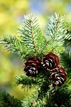 Photograph beautiful pine by Lina Louro on 500px