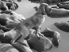 Bracco Italiano Dog Breed Puppies