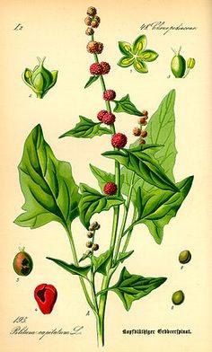 Blitum Capitatum of Chenopodium capitatum (Aardbeispinazie)