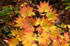 Acer shirasawanum 'Jordan' in autumn  Other names for this beautiful acer are: Golden-leaved Japanese maple or 'Jordan' full moon maple.