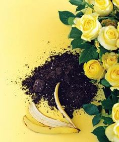 Flatten a banana peel and bury it under one inch of soil at the base of a rosebush. The peel's potassium feeds the plant and helps it resist disease. Consider it a nutritional boost for you and your buds.
