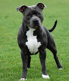 American Staffordshire Terrier breed info, Pictures, Characteristics