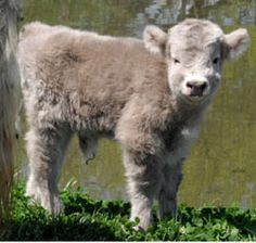 Farm: Down on the ~ Miniature Highland Cattle. Miniature Highland Cattle, Miniature Cows, Cute Baby Animals, Farm Animals, Animals And Pets, Wild Animals, Mini Cows, Mini Farm, Fluffy Cows