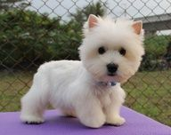 famous westies - Google Search