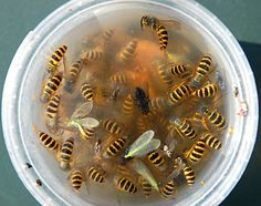 Wasps killed in DIY trap, but not honeybees!
