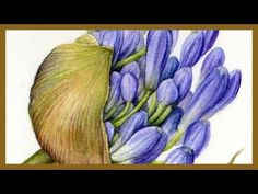 How to paint Agapanthus in detail - part See how I paint the sheath on this Agapanthus flower using one of my favourite watercolour techniq. Watercolor Art Lessons, Watercolor Sketch, Watercolor Flowers, Watercolor Paintings, Watercolors, Botanical Drawings, Botanical Art, Botanical Illustration, Plant Drawing