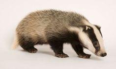 British badger Unique Animals, Nature Animals, Cute Animals, British Wildlife, Badger, Ferret, Mammals, Creatures, Anatomy