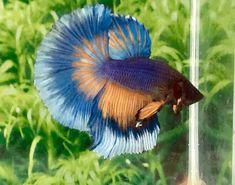 fwbettashm1518120265 - Quality Multicolor Male HM Halfmoon Betta Fish // seller: bettaprime ( in USA )