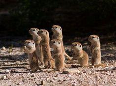 Prairie dog puppies