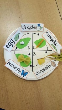 My life cycle of a butterfly craft for Science - grade 1. Simple activity involving pasta. Life cycle of a butterfly.