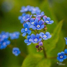Forget-me-not Shade Garden Plants, Hosta Plants, Spring Flowering Bulbs, Spring Bulbs, Globe Flower, Flower Pots, Hardy Perennials, Flowers Perennials, Shade Flowers
