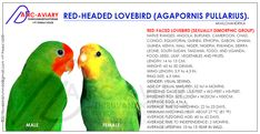 Hyder Ali, African Lovebirds, Bird Breeds, Linnaeus, Bird Aviary, Conure, Abyssinian, Budgies