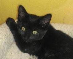 Stella is a Domestic Medium Hair Cat.  She is black and very friendly.  She loves to play.  Stella is almost 3 months old. http://www.petfinder.com/petdetail/24354082#