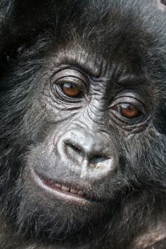 Ihirwe Mountain Gorilla Rescued from Poachers after being stolen from her Mother and shipped across boarders.