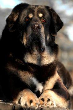 He knows by SaNNaS.deviantart... on @deviantART mastif tibetain