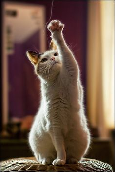 How To Teach A Cat Tricks http://petcouponsavings.com/how-to-teach-a-cat-tricks/ #cats