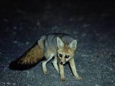 Резултат с изображение за cape fox