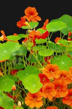 Stock photo of beautiful nasturtium flowers close up