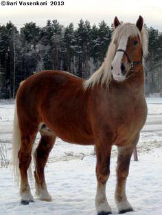 Estonian Draught stallion Valmet