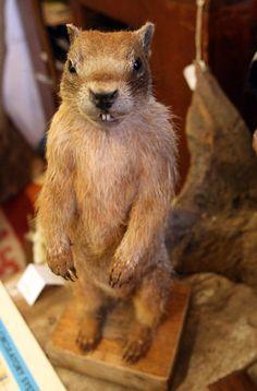 Vintage Taxidermy Prairie Dog by mammothcurios on Etsy, $415.00