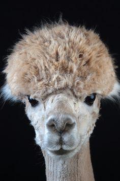 http://cdn.modernfarmer.com/wp-content/uploads/2015/09/raising-alpacas-huacaya-bowl-cut.jpg