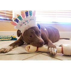 http://www.MyPitbullShop.com #puppy #pup #pitbull #pitbulls #cute #eyes #instagood #dogs_of_instagram #pet #pets #animal #animals #petstagram #petsagram #dogsitting #photooftheday #dogsofinstagram #ilovemydog #instagramdogs #nature #dogstagram #dogoftheday #lovedogs #lovepuppies #hound #adorable #doglover #instapuppy #instadog