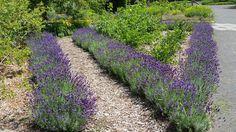 La lavande bleue (Lavandula Angustifolia Hidcote Blue) Croissant en touffes arbustives, la lavande bleue Hidcote Blue est une plante aromatique persistante, appréciée des abeilles, au port compact et au feuillage vert argenté. Ses fleurs bleu violet en épis denses sont très parfumées et apparaissent en juin-juillet puis à l'automne.