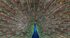 Indian Peafowl - hard to believe this is a bird