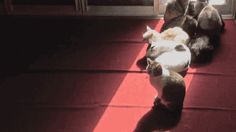 Time-Lapse Video: Cats Lying in a Moving Sunbeam - Neatorama