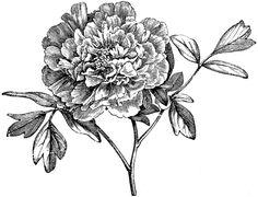 Flowering Branch of Mountain Peony