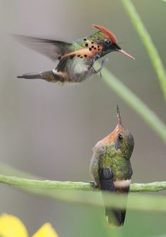 In courtship, the male hummingbird dances above the female. He will repeatedly fly backwards and circle around her until she becomes passive and pairs with him.
