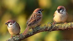 British Wildlife at Wild About Britain - The home of British wildlife, nature and environment conservation across the UK Sparrow Nest, House Sparrow, Sparrow Bird, Birds 2, Small Birds, Little Birds, British Wildlife, Bird Species, Bird Art