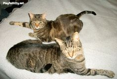 American Shorthair - July's Cat Breed of the Month