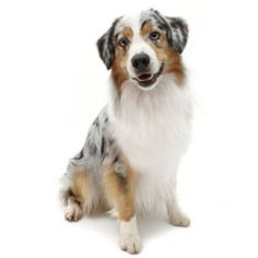 Small Allergy Free Dog Breeds