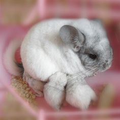 Gorgeous white chinchilla nursing her babies. I love the focus on this pic. It makes the chinchillas look even softer.