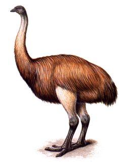 Elephant Bird/Aepyornis maximus/ vorompatra was native to Madagascar and it is believed to have gone extinct do to humans. Prehistoric Wildlife, Prehistoric World, Prehistoric Creatures, Weird Birds, Funny Birds, Extinct Birds, Extinct Animals, Big Animals, Weird Creatures